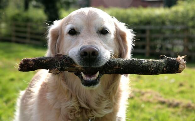 Dierenartsen Verzoeken Geef Je Hond Svp Geen Stok Meer