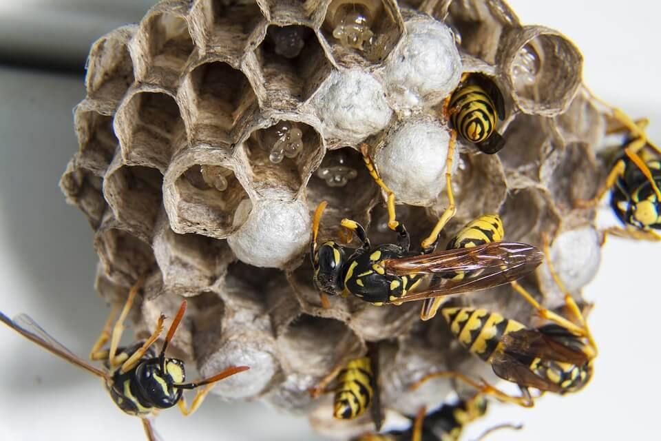 wespennest wespen