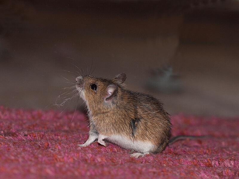 Mäusekot entfernen