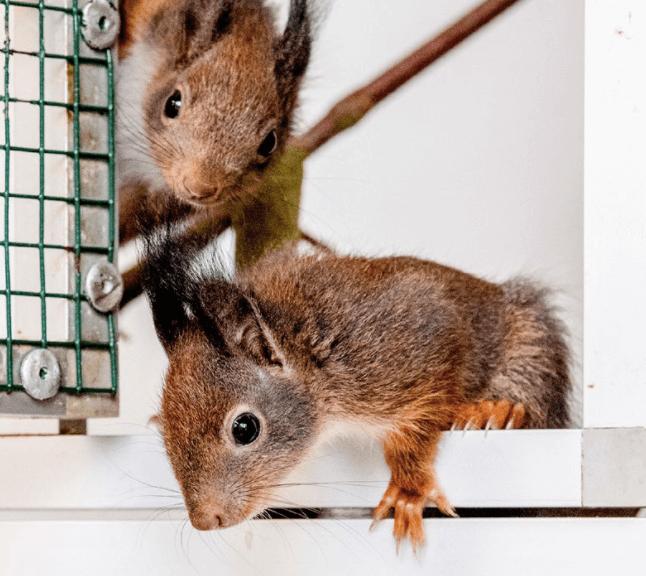 baby-eekhoorntjes