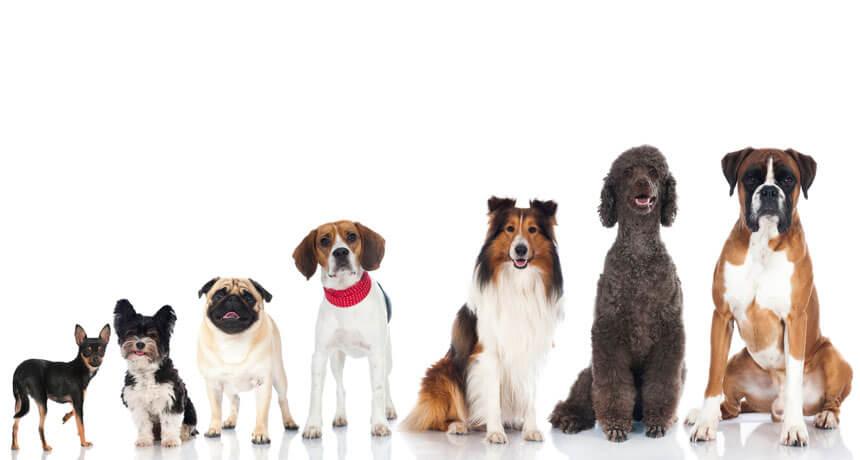hondenras